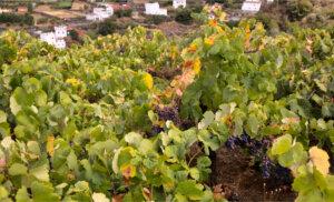 ¿Conoces las denominaciones de origen vinícolas de las Islas Canarias?
